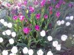 Tulips - on the Run