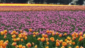 The tulip  festival in Lyndon, WA is a breathtaking sight to behold.