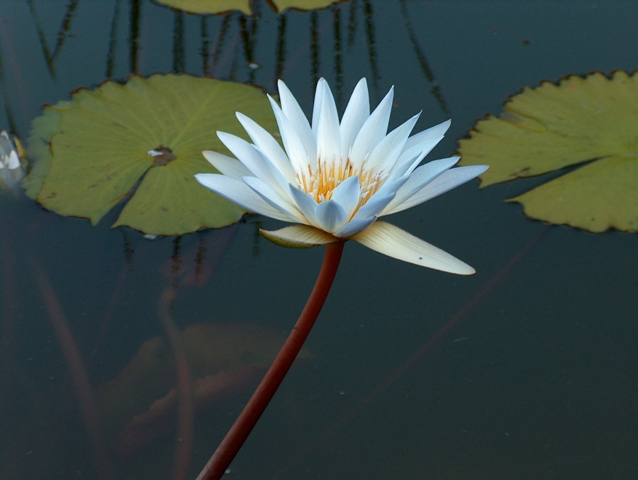 Among all the wild animals we found this wild Lily in a pond in S. Africa