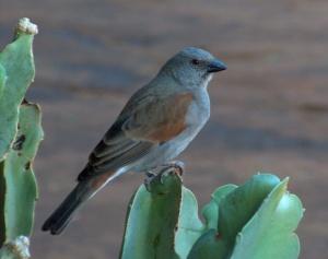 birdcactus