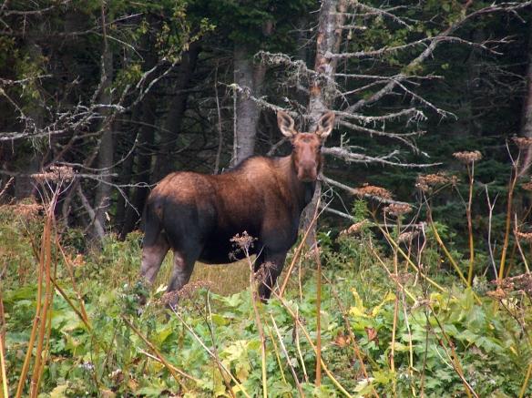 Moose at Grose Mourne