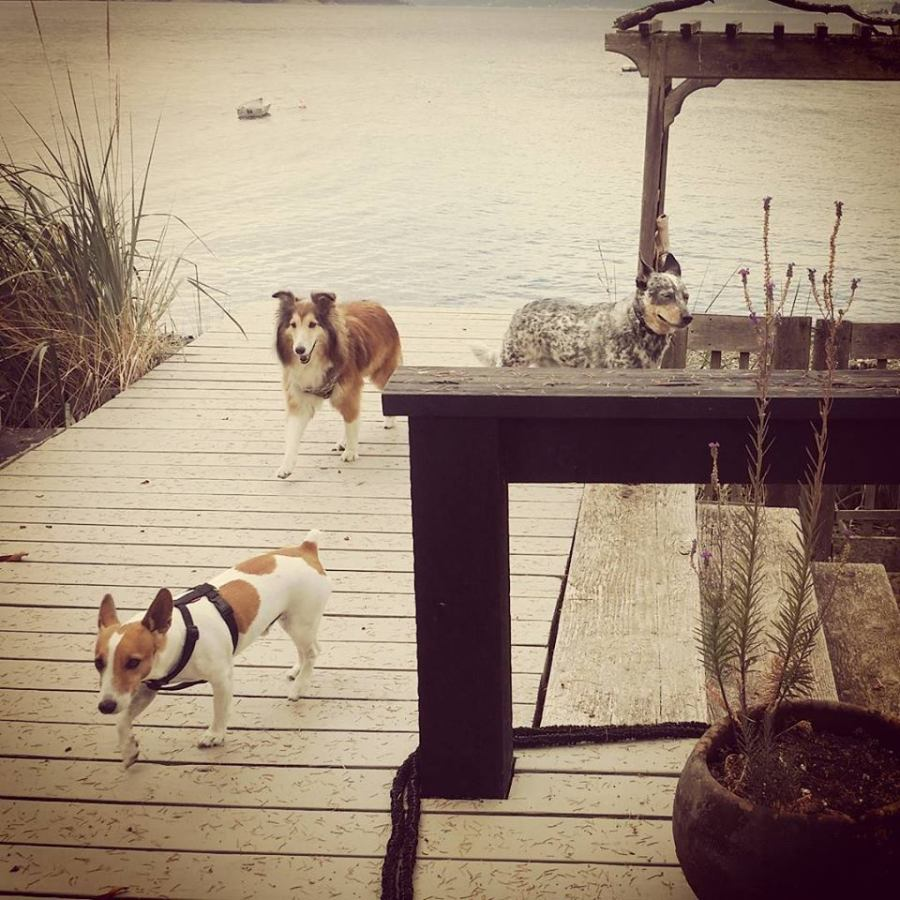 Jack (jack russell), Jia Jia (sheltie) & Max (blue heeler) on Piers Island