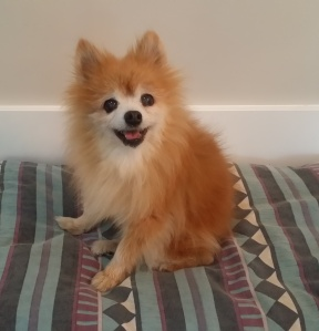 I met this 18 year old happy pomeranian (I used to have one) at a friends open house party