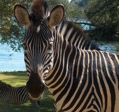 Zebras on the Royal Livingston property. Photo: d. king