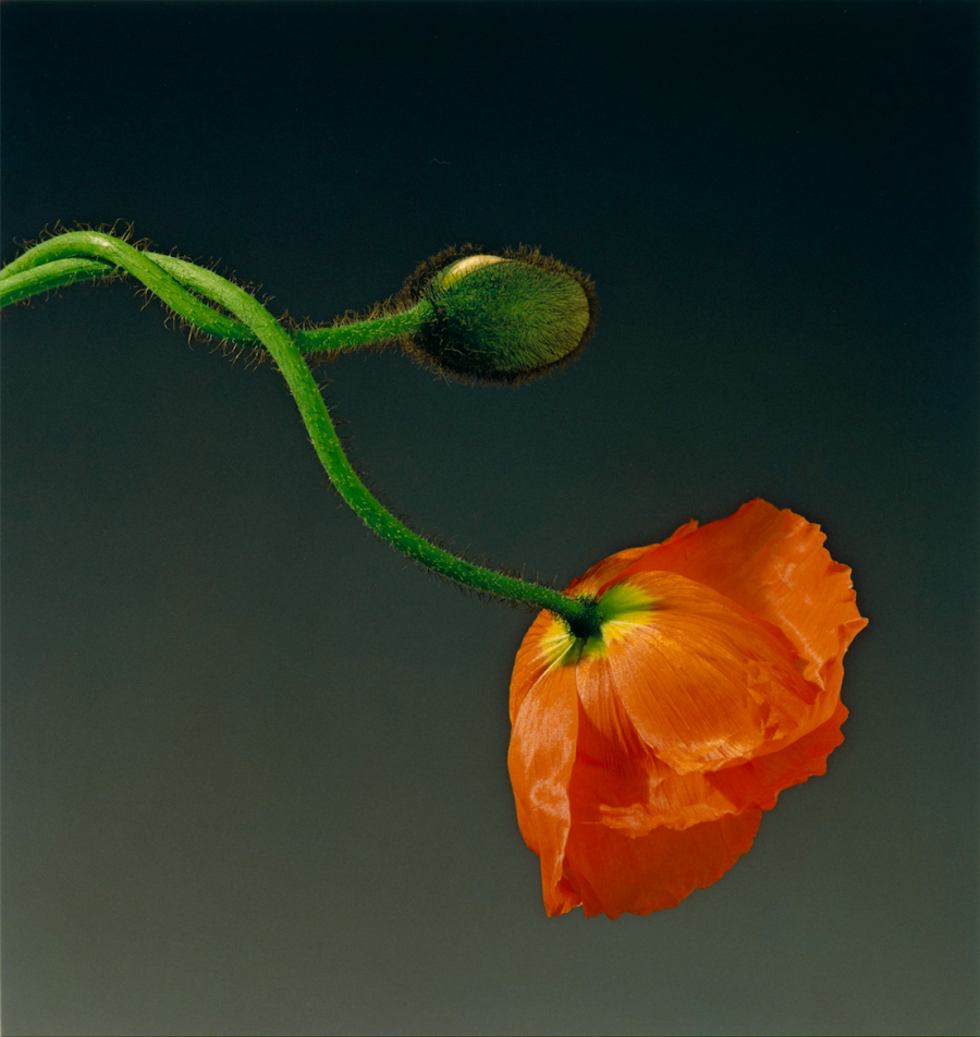 Robert Mapplethorpe, Poppy, 1988, jointly acquired by the J. Paul Getty Trust and the Los Angeles County Museum of Art, partial gift of the Robert Mapplethorpe Foundation; partial purchase with funds provided by the J. Paul Getty Trust and the David Geffen Foundation, © Robert Mapplethorpe Foundation