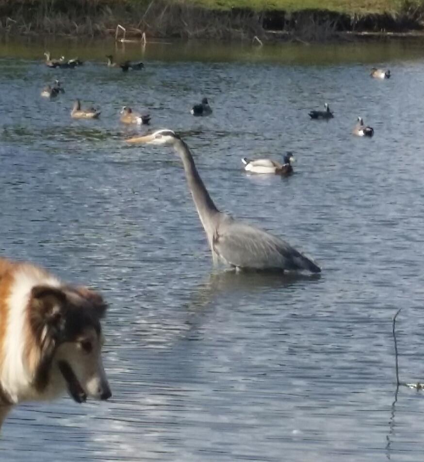 an unusual duck