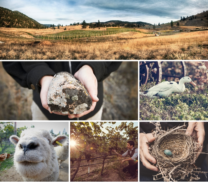The certified organic four-hectare (nice acres) Switchback Vineyard is home to sheep, chickens and ducks.