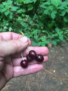 Freshly picked wild cherries