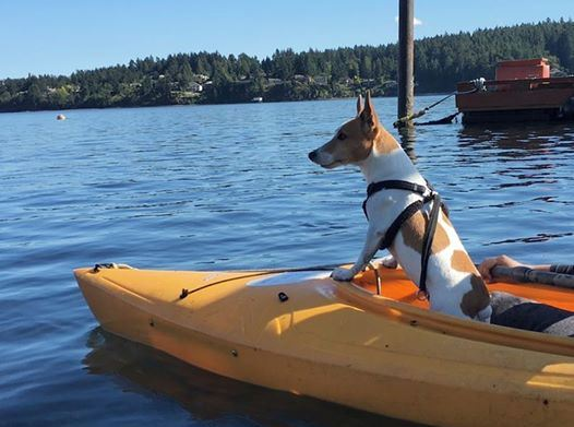 Some prefer taking chances without wearing a life vest and wonder why there ae no other adventurous dog kayakers.