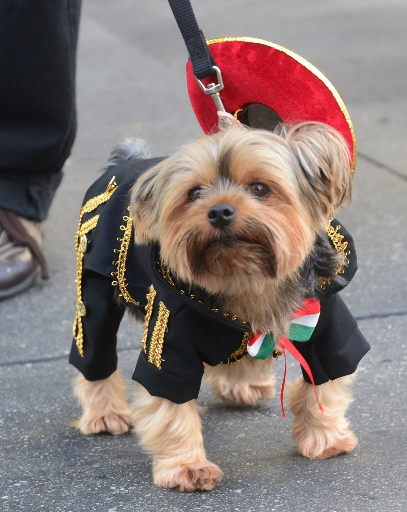 Yorkshire Terrier Chester, dressed as a 'Mariachi' in Pasadena, Calif. FREDERIC J. BROWN/AFP/Getty Images