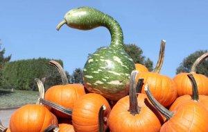pumpkinsspeckledswam